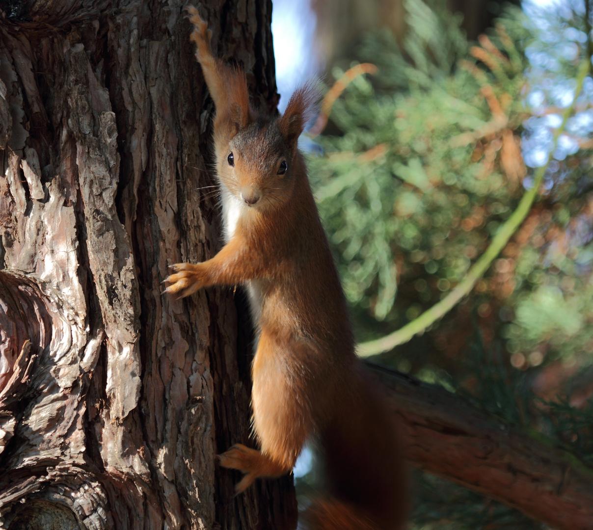 Eichhörnchen hängt am Baum