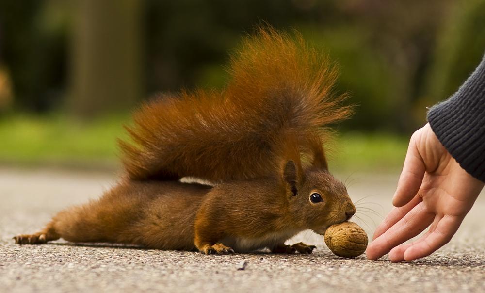 Eichhörnchen - Hörnchen - Nagetier - Nuss - Liegestütz - Zahm