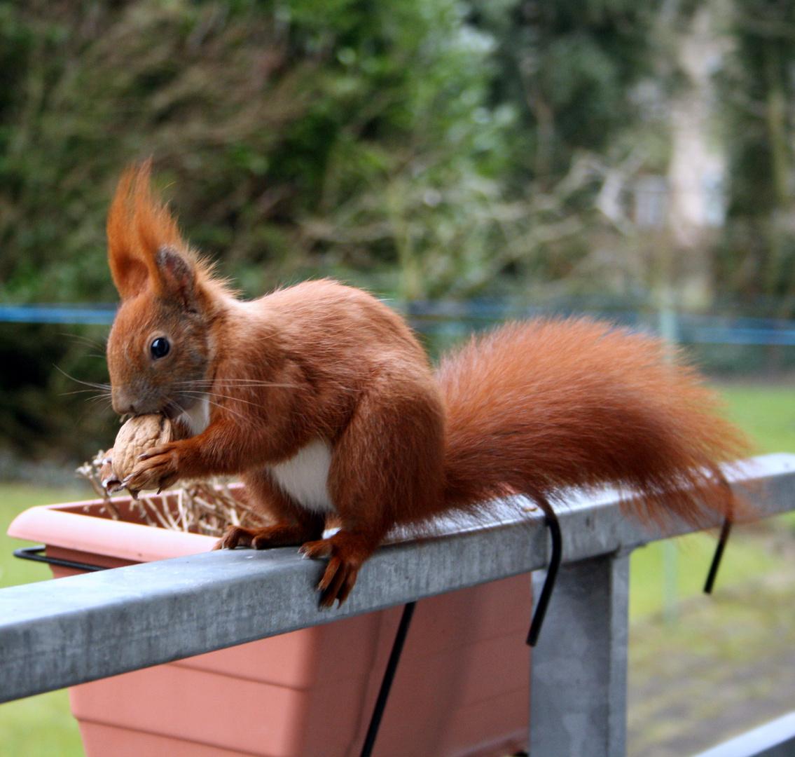 Eichhörnchen holt sein Futter vom Balkon