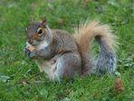 Eichhörnchen im Boston Common Park