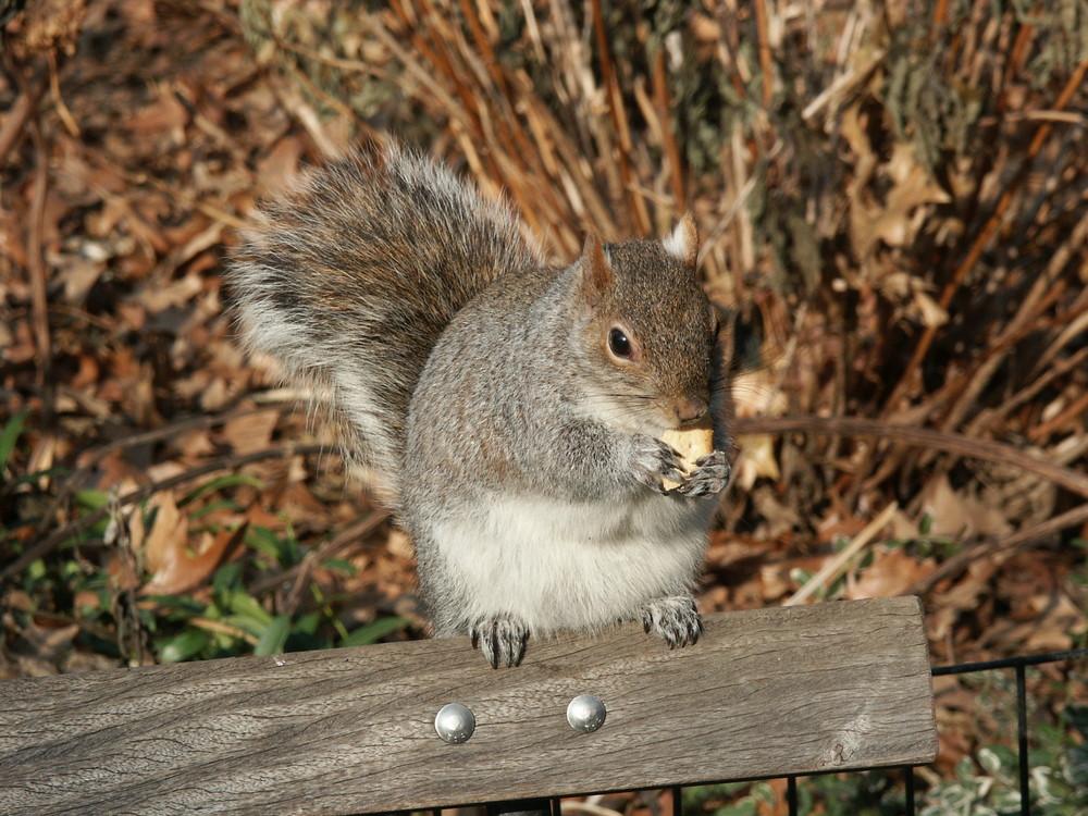 Eichhörnchen im Central Park New York