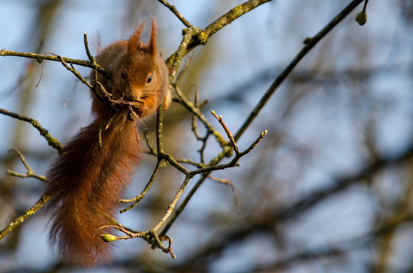 Eichhörnchen im der Abendsonne