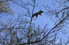Eichhörnchen im Flug