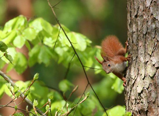 Eichhörnchen im frischen Frühlingsgrün