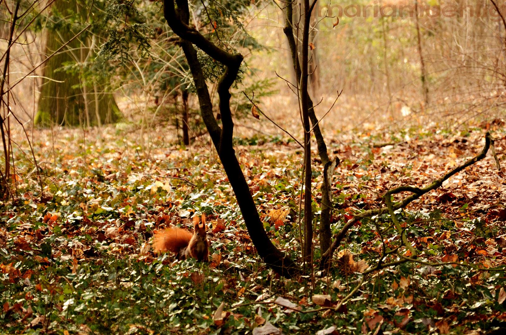 Eichhörnchen im Großen Garten, Dresden