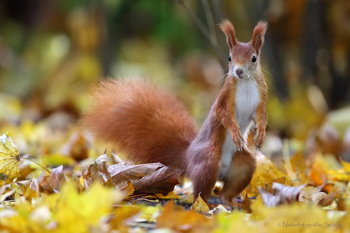 Eichhörnchen im Herbstlaub ...