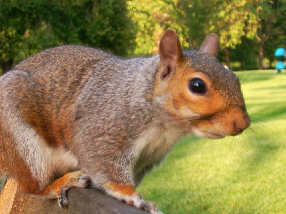 Eichhörnchen im James Park / London
