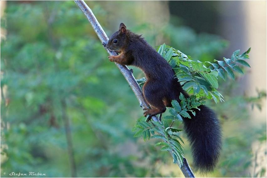 Eichhörnchen im Morgenlicht