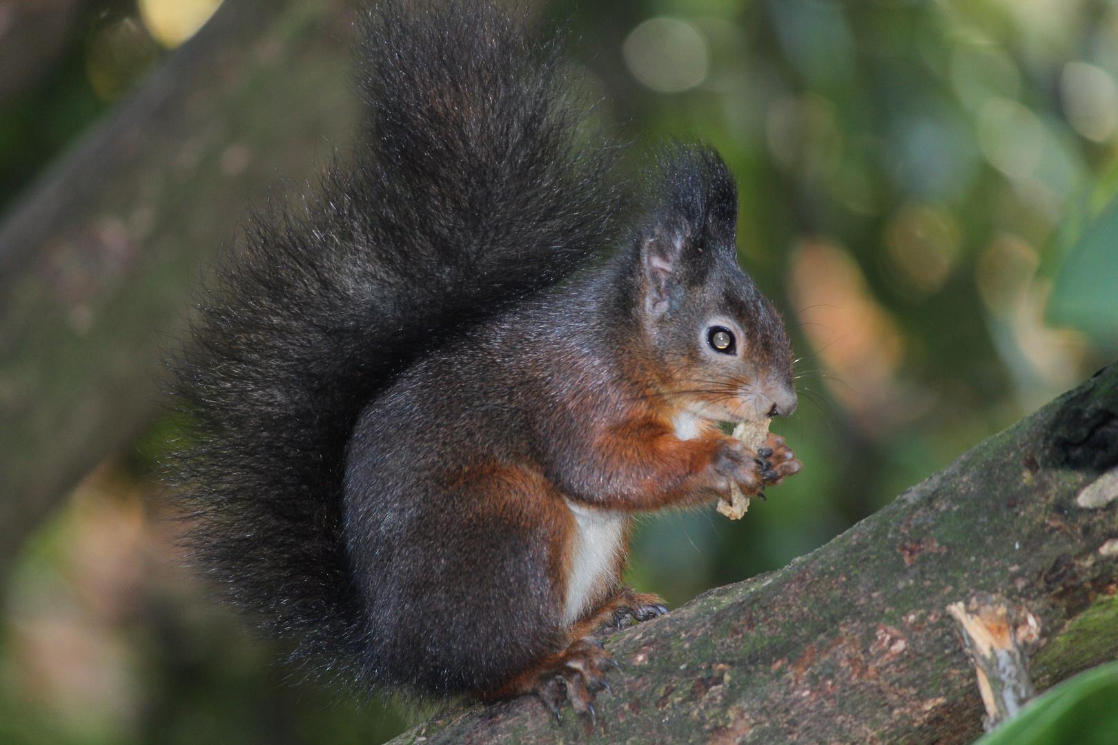 Eichhörnchen im Rombergpark