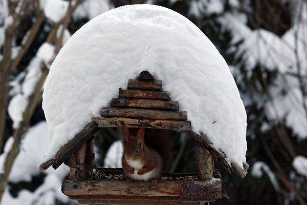 Eichhörnchen im Schnee