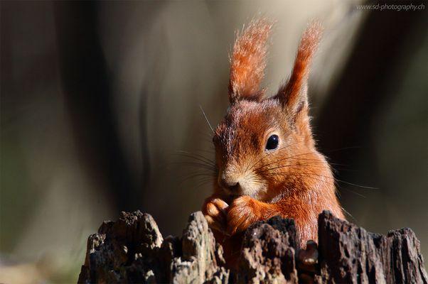 Eichhörnchen in Abendlicht