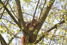 Eichhörnchen in Baumgabel