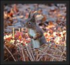 Eichhörnchen in Beobbachtungsstellung