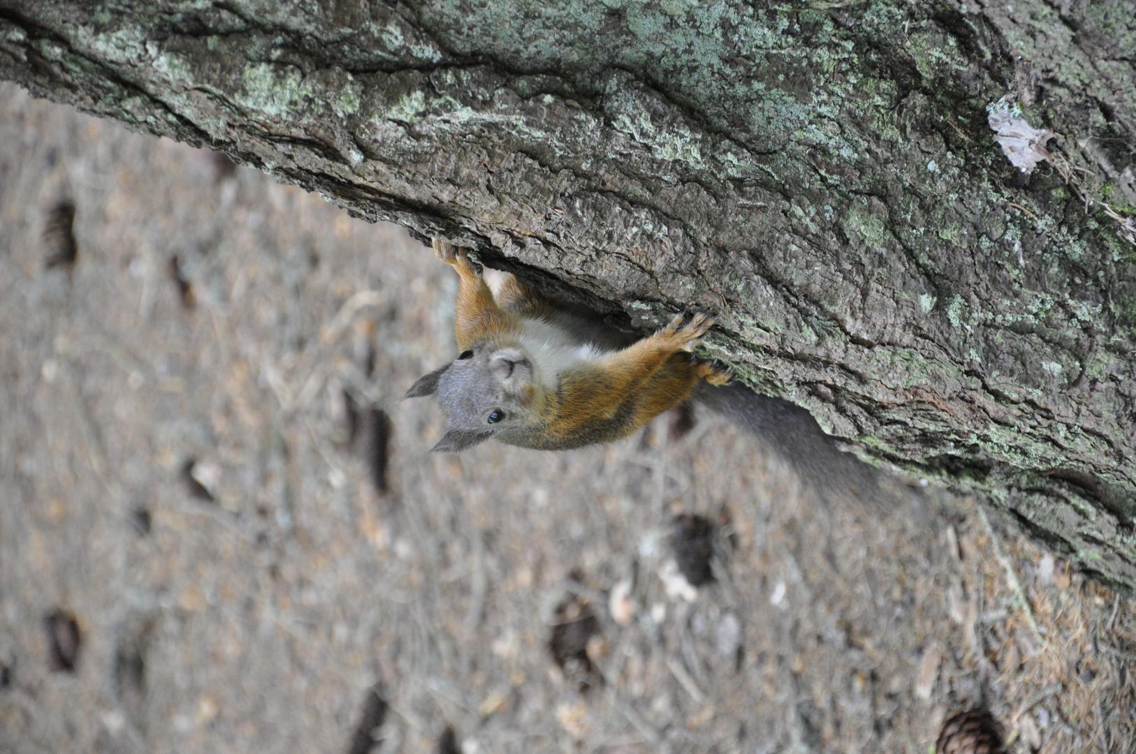 Eichhörnchen in der Lenzernheide