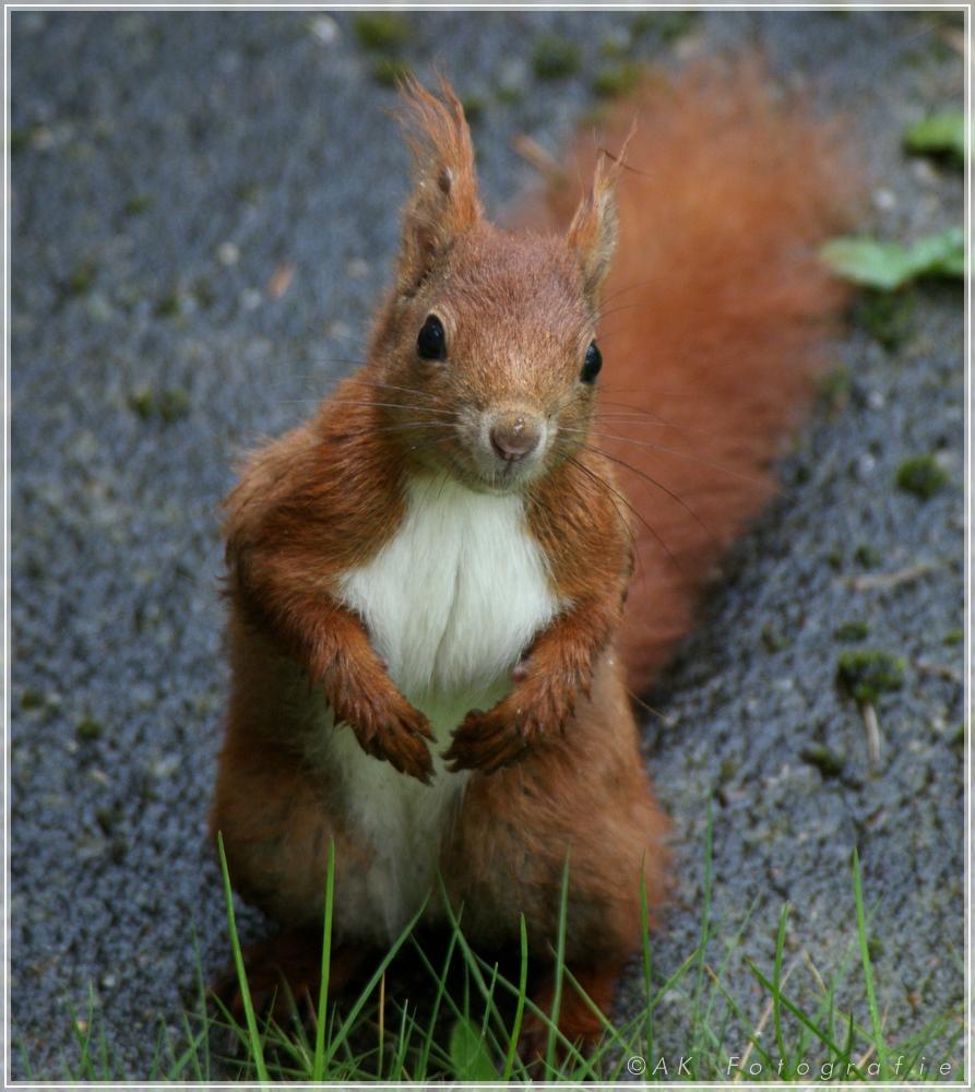 Eichhörnchen in der Stadt 2