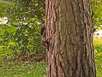 Eichhörnchen in freier Wildbahn