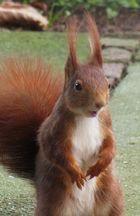 Eichhörnchen in nah
