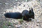 Eichhörnchen in schwarz