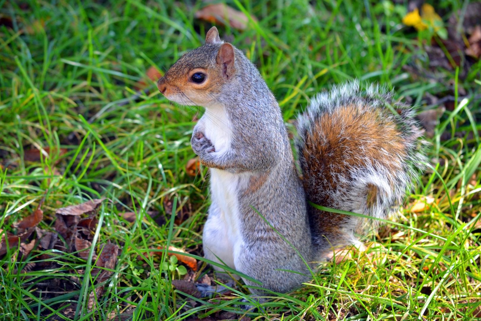 Eichhörnchen in Washington D.C.