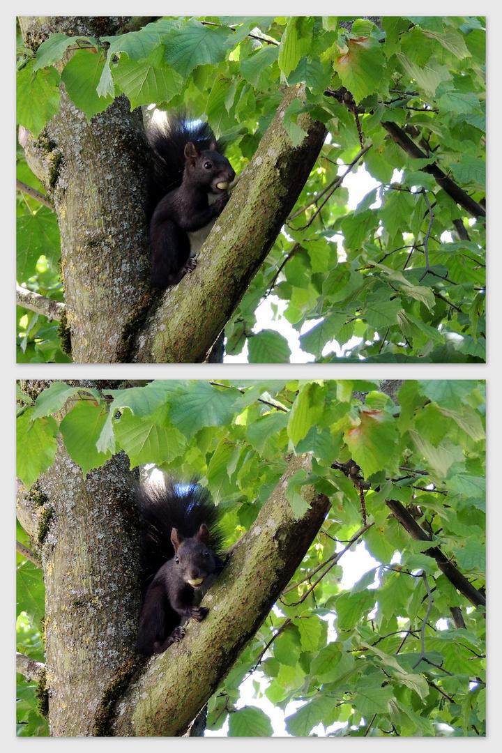 Eichhörnchen ist fleissig am Sammeln und Verstecken...