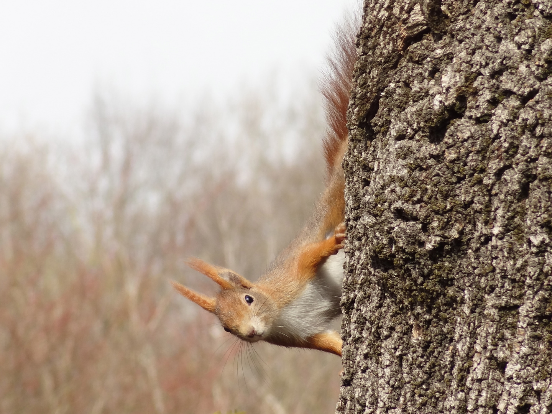 Eichhörnchen Jung und neu