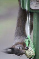 Eichhörnchen klaut den Meisen das Futter