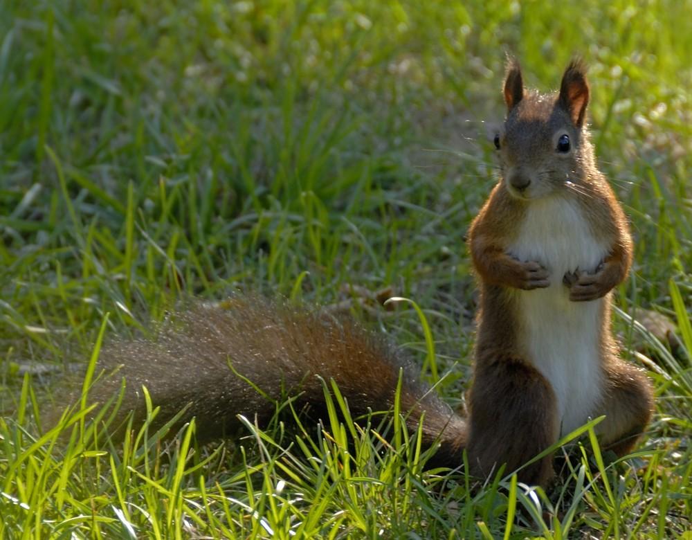 Eichhörnchen mit Juckreiz