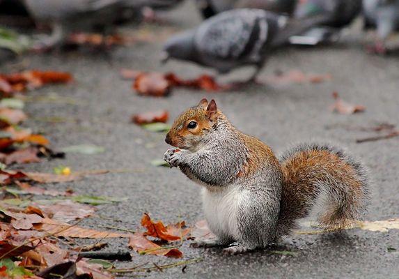 Eichhörnchen mit Migrationshintergrund.