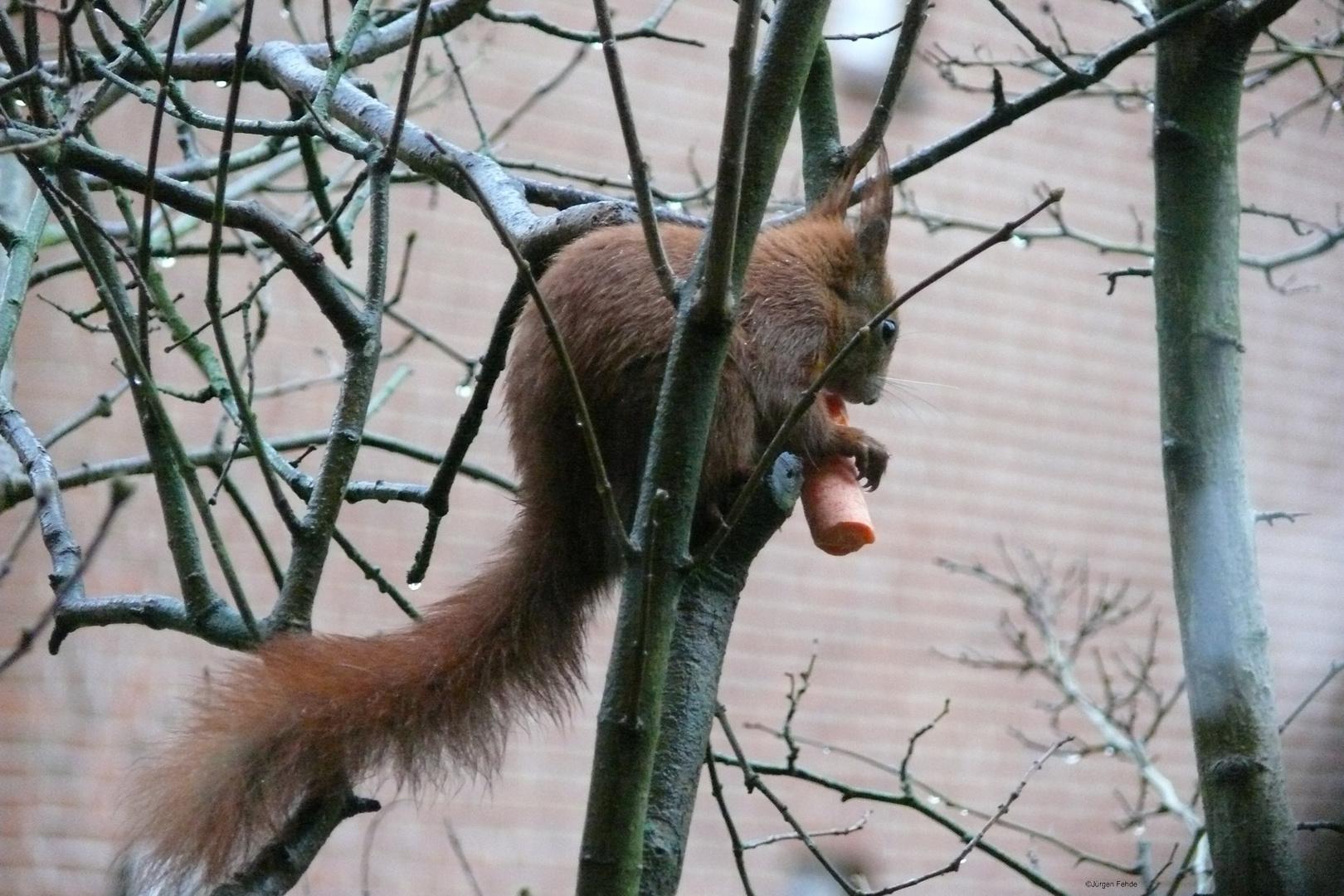 Eichhörnchen mit Möhre
