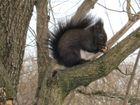 Eichhörnchen mit Pelz