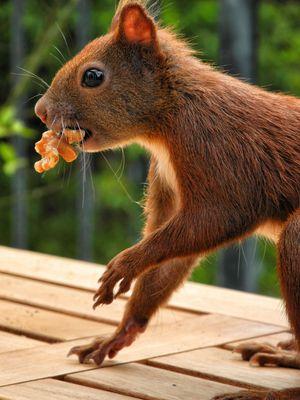 Eichhörnchen mit Walnußkern
