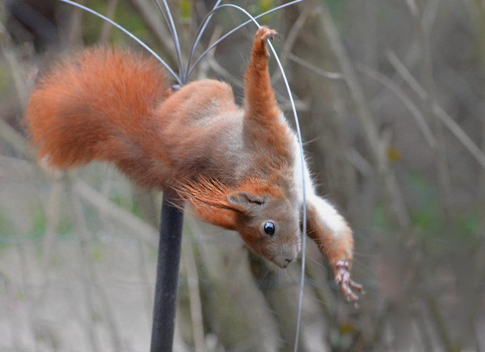 Eichhörnchen plündert Vogelfutterreste