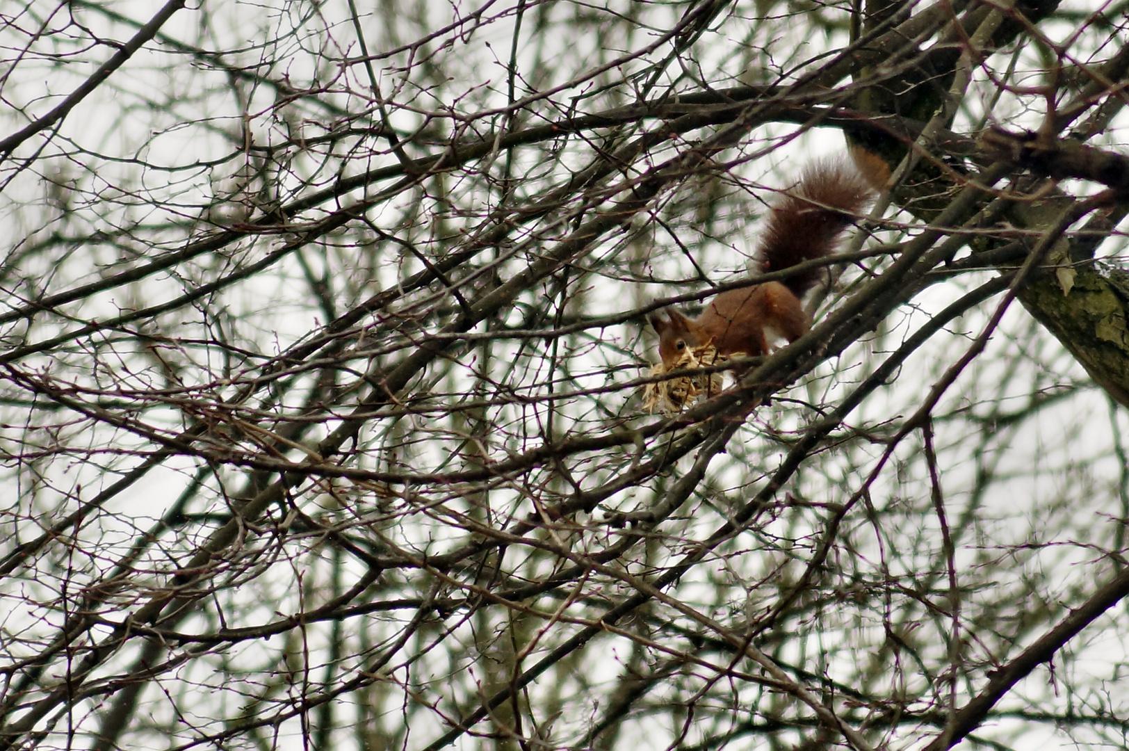Eichhörnchen polstert seinen Kobel für den Nachwuchs mit Lindenrinde