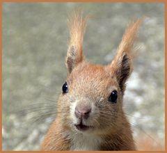 Eichhörnchen-Portrait