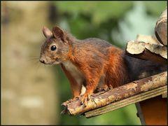 Eichhörnchen-Posing (2)