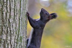 Eichhörnchen - Profil
