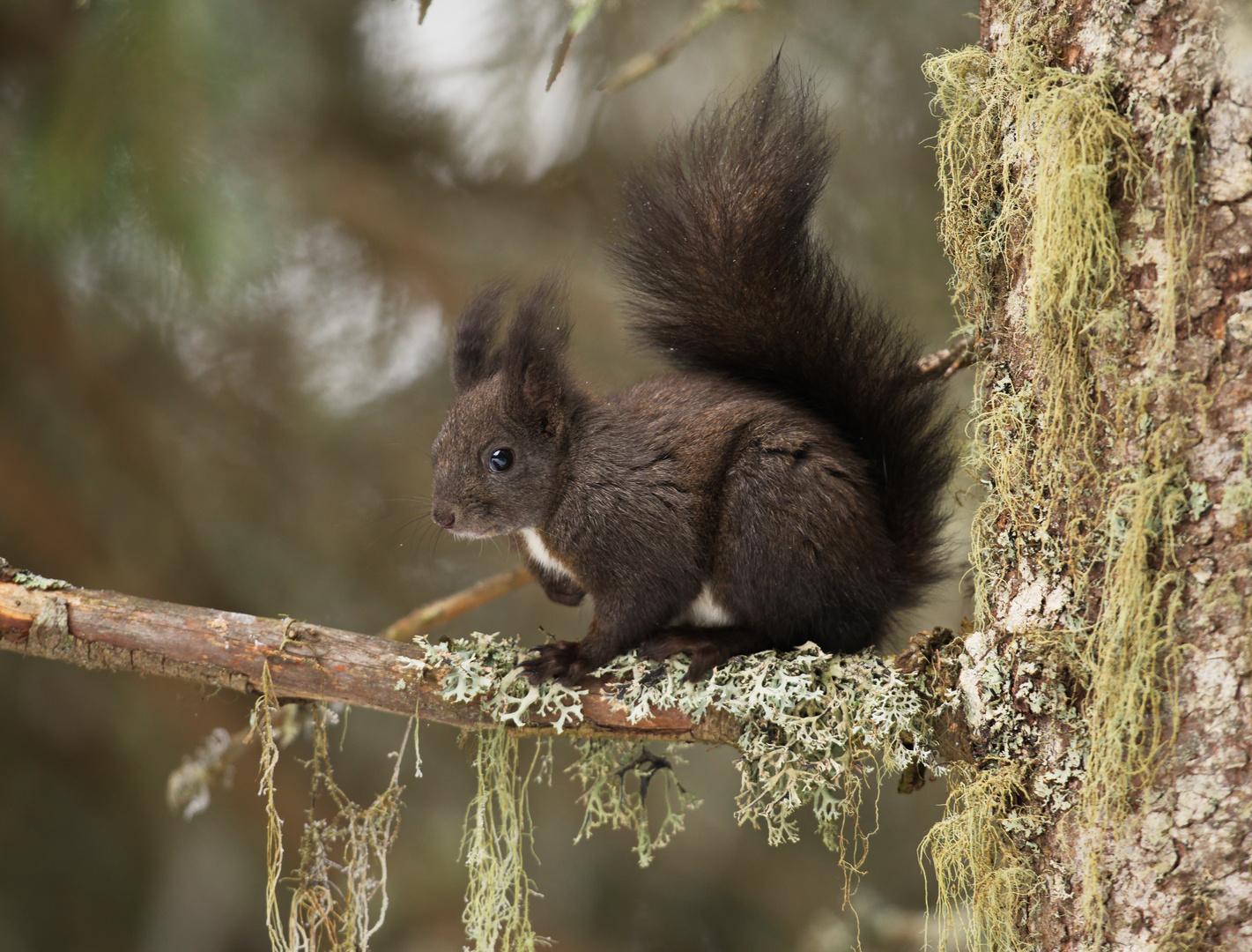 Eichhörnchen Rast