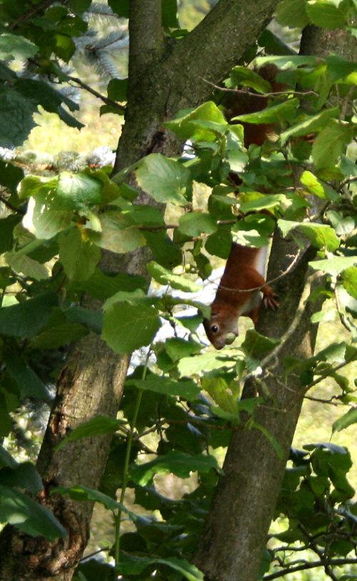 Eichhörnchen sammelt Nüsse