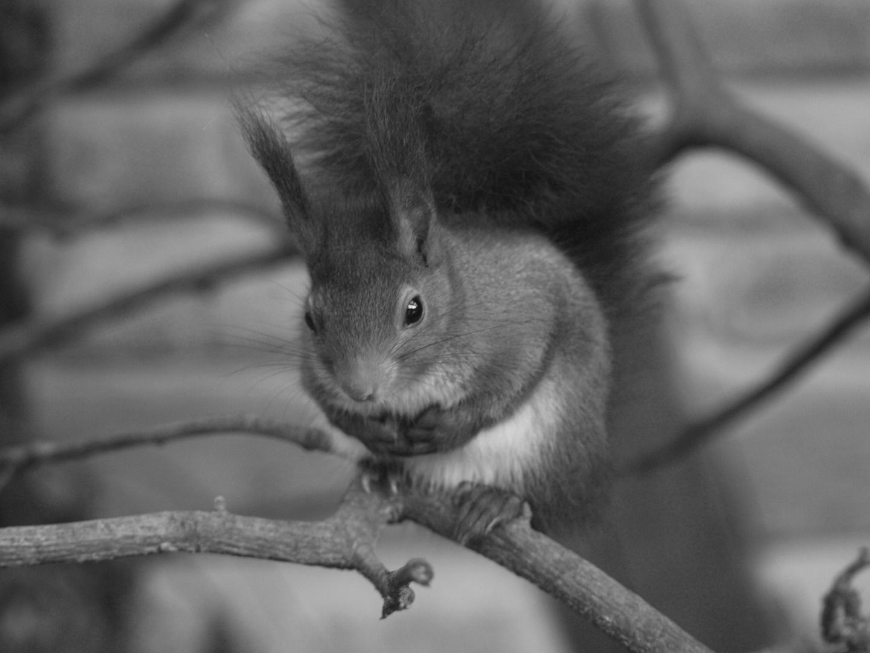 Eichhörnchen - SW
