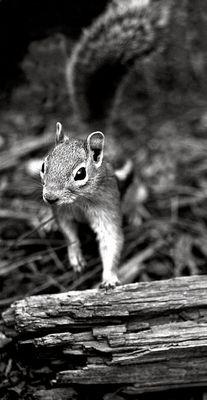 Eichhörnchen (USA Bryce Canyon)