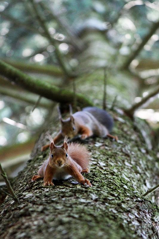 Eichhörnchen VI