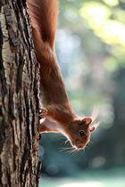 Eichhörnchen VII