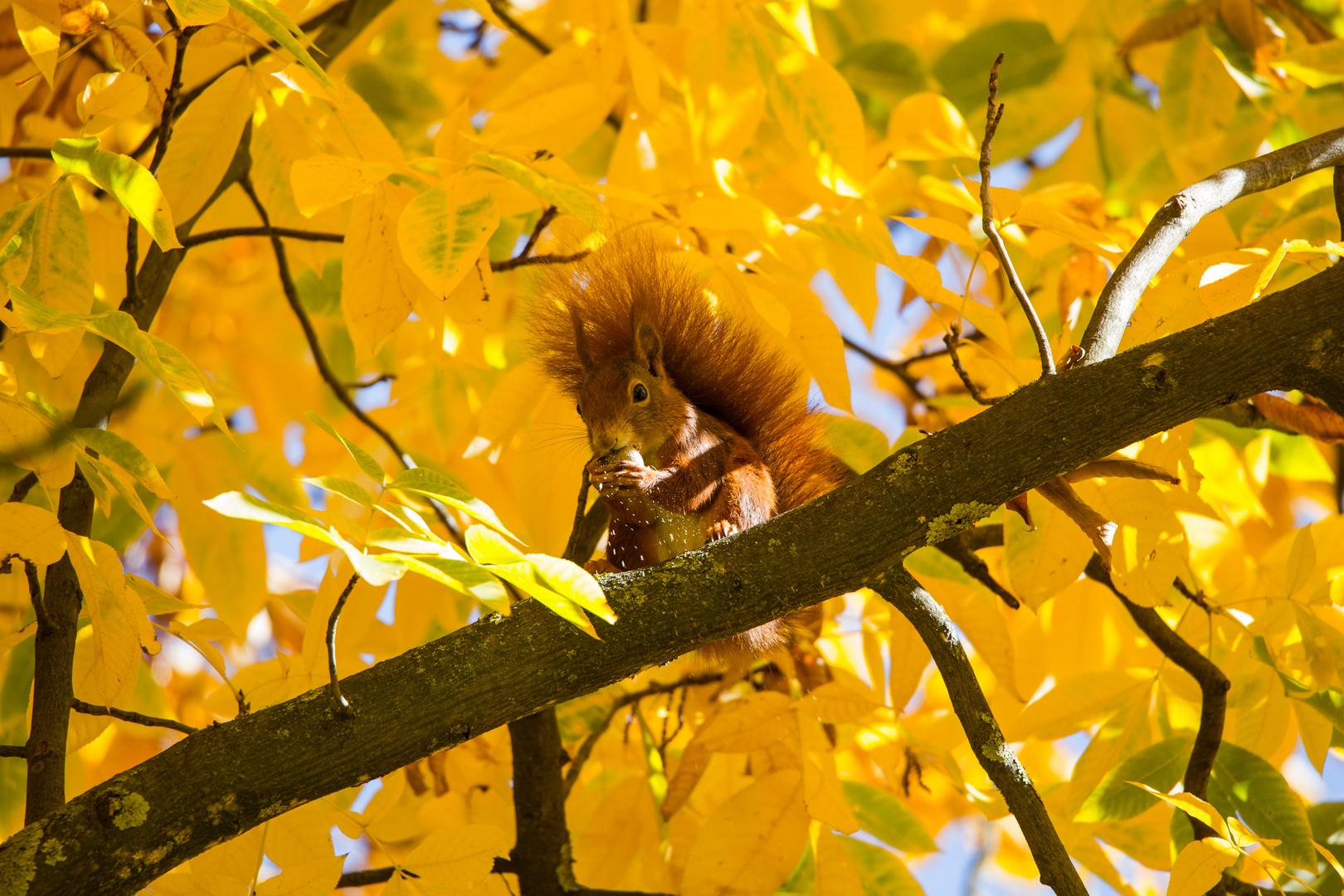 Eichhörnchen - wo gehobelt wird...