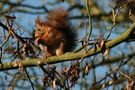 Eichhörnchen1 von Udo Walter Pick