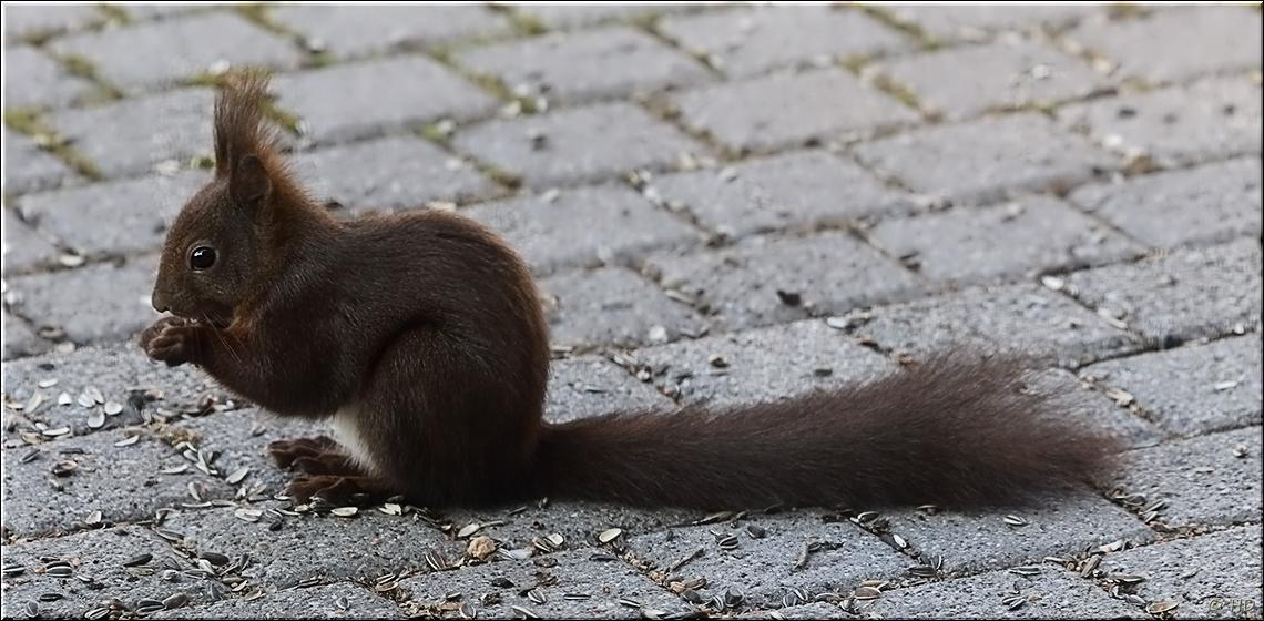 Eichhörnchenbesuch -2-