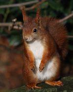 Eichhörnchenbild im Vergleich