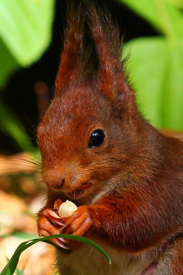 **Eichhörnchenportrait**