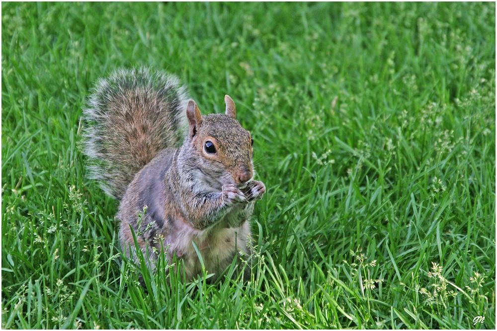 Eichkatz'l (Squirrel in USA)
