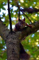 Eichörnchen, Freihand