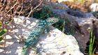 Eidechse am Cap Barbaria